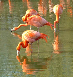 flamingoes cropped